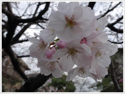 このところの暖かさで、桜の開花も一気に進みそうです_b0175688_22194296.jpg