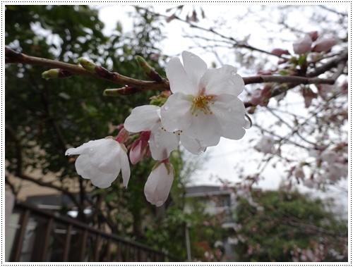 このところの暖かさで、桜の開花も一気に進みそうです_b0175688_2219941.jpg