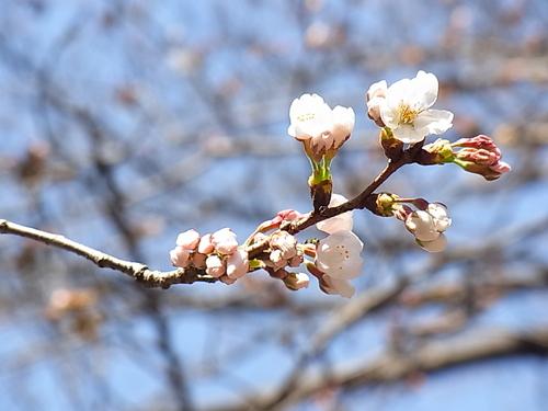 サクラが咲きました!_b0105897_2152976.jpg