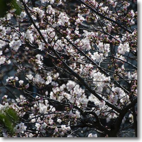桜始開、さくらさく_f0099102_21254350.jpg