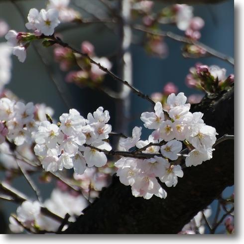 桜始開、さくらさく_f0099102_21254955.jpg