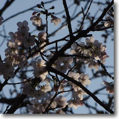 桜始開、さくらさく_f0099102_2126876.jpg