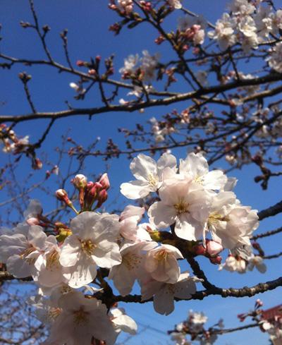 GACKTを聞きながら お花見散歩!_c0036138_15571268.jpg