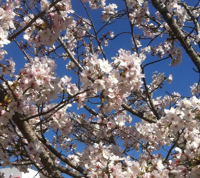 GACKTを聞きながら お花見散歩!_c0036138_160229.jpg