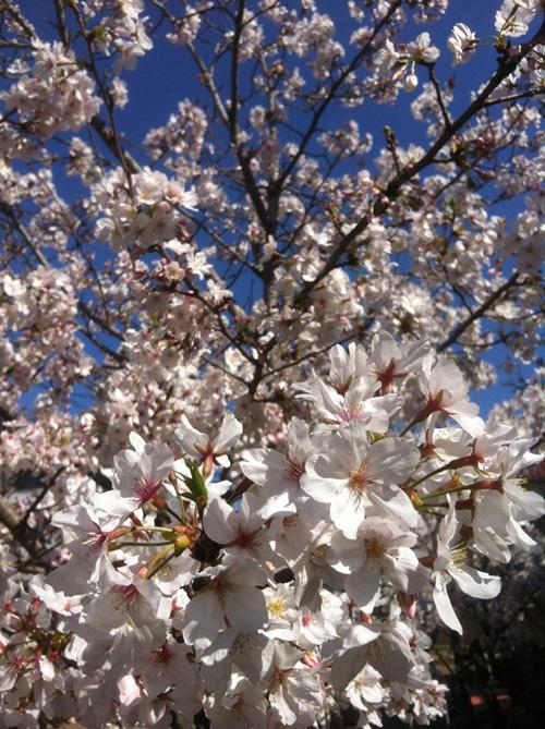 GACKTを聞きながら お花見散歩!_c0036138_1615229.jpg
