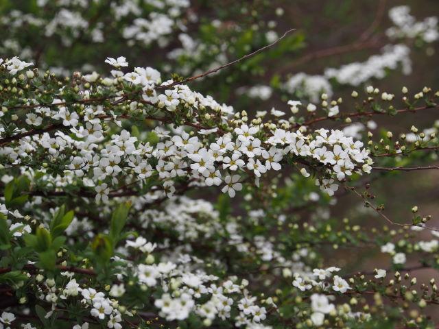雪咲く春_a0257652_743734.jpg