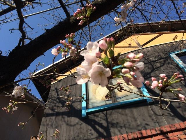 桜が咲き始めました_d0177560_1642098.jpg
