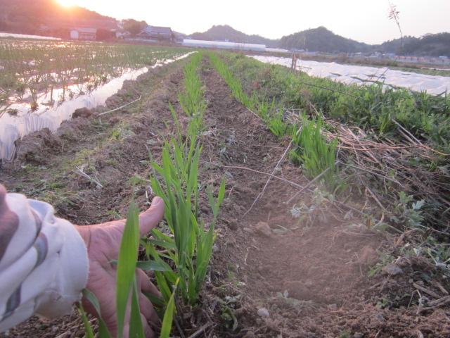 種取り用のはだか大麦_e0181260_2030073.jpg