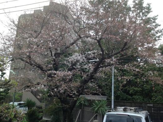 桜の花が咲き始めましたね。_f0052181_12382388.jpg