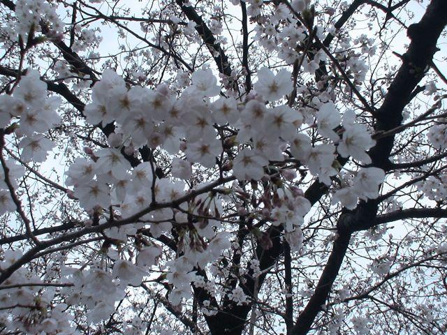 """やっと来た""""春""""_d0016397_1274576.jpg"""