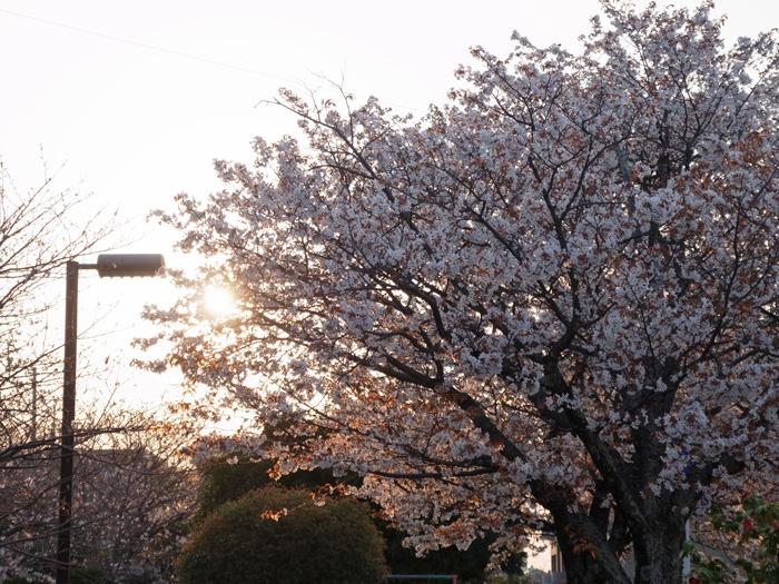 夕暮れ桜_c0049299_22425266.jpg