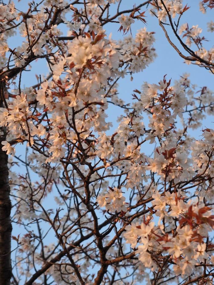 夕暮れ桜_c0049299_22455862.jpg