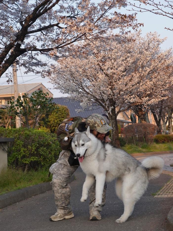 夕暮れ桜_c0049299_2246336.jpg