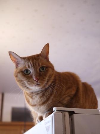 冷蔵庫上猫 しぇる編。_a0143140_22483719.jpg