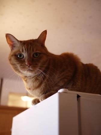 冷蔵庫上猫 しぇる編。_a0143140_22564030.jpg