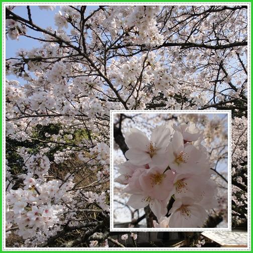 古処山へ、そして秋月の桜観賞_e0164643_2233164.jpg