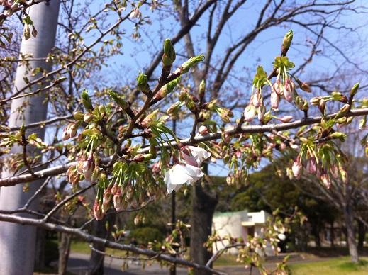 桜まつりイベント詳細!!_f0229750_16563639.jpg