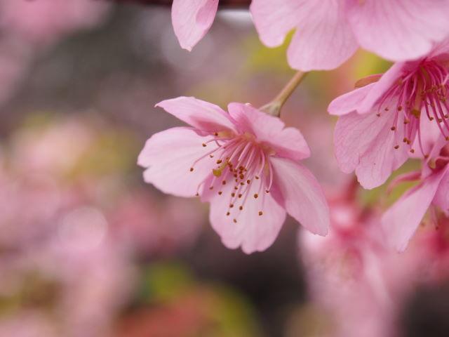 早咲きの桜は、華やかな色_a0257652_837730.jpg