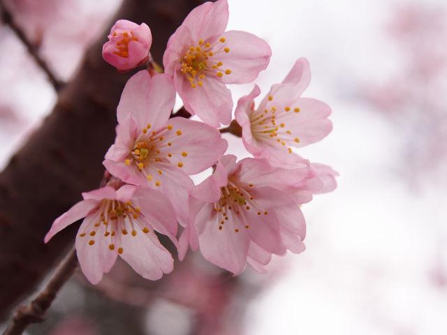 早咲きの桜は、華やかな色_a0257652_92453100.jpg