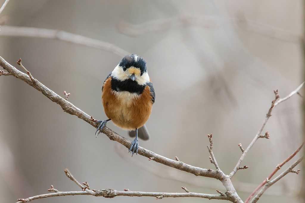 西湖野鳥公園にいたアトリ_f0044056_07571051.jpg