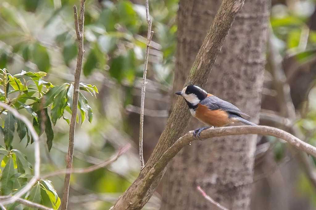 西湖野鳥公園にいたアトリ_f0044056_07573617.jpg