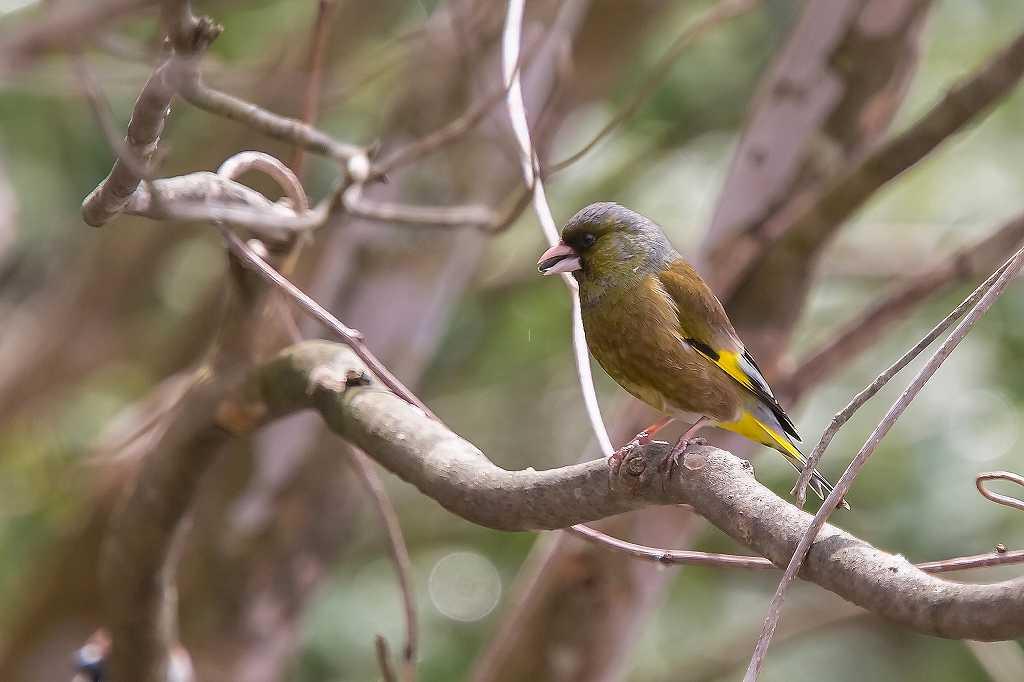 西湖野鳥公園にいたアトリ_f0044056_07593677.jpg