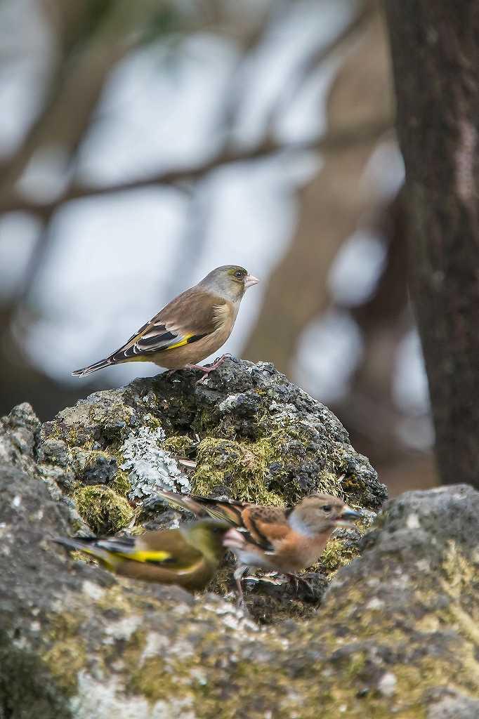 西湖野鳥公園にいたアトリ_f0044056_08002772.jpg