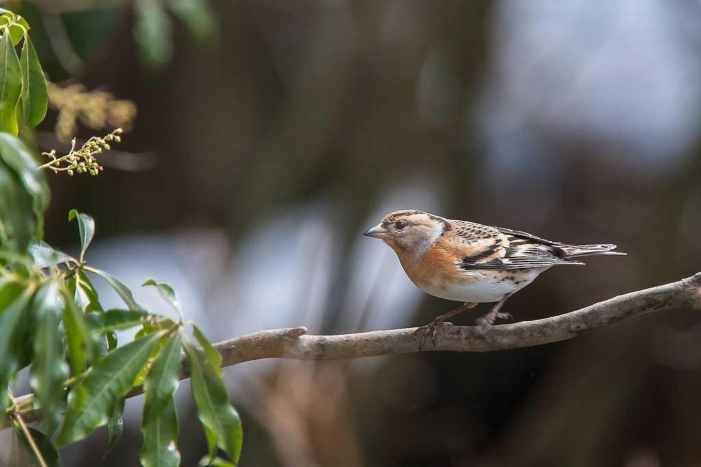 西湖野鳥公園にいたアトリ_f0044056_08175452.jpg