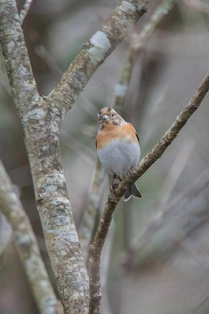 西湖野鳥公園にいたアトリ_f0044056_08184327.jpg