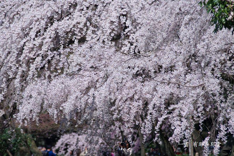 京都御所の桜_a0157263_19185918.jpg