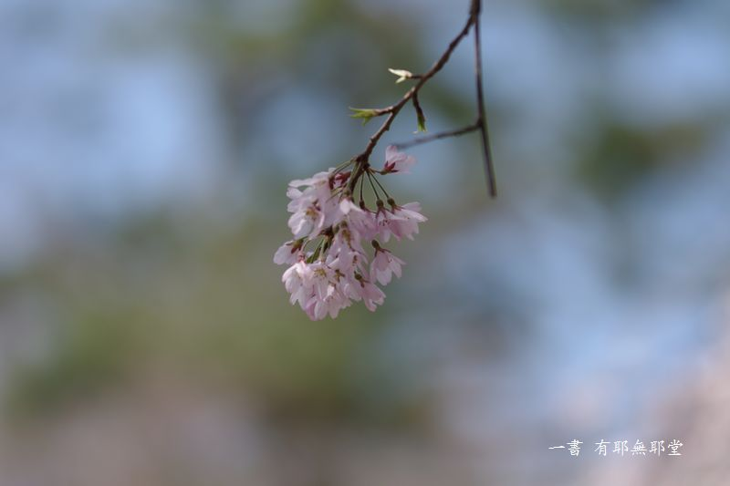 京都御所の桜_a0157263_19185976.jpg
