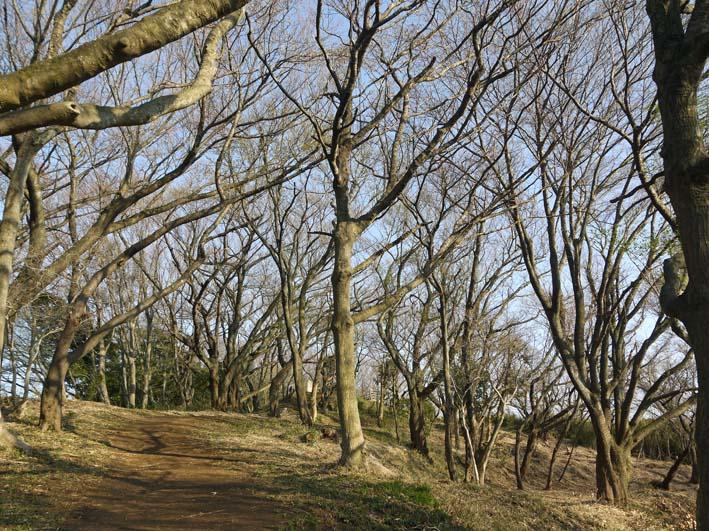 六国見山のシンボルツリー夫婦桜満開、見頃は週明けまでか_c0014967_22111735.jpg