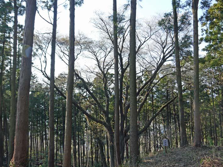六国見山のシンボルツリー夫婦桜満開、見頃は週明けまでか_c0014967_22125397.jpg