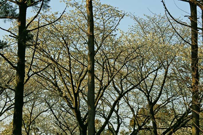 六国見山のシンボルツリー夫婦桜満開、見頃は週明けまでか_c0014967_2212936.jpg
