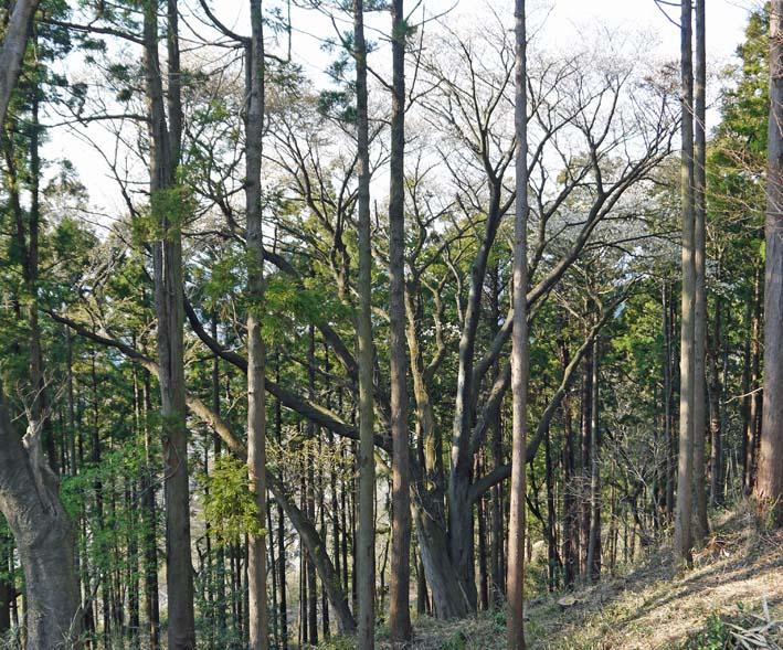六国見山のシンボルツリー夫婦桜満開、見頃は週明けまでか_c0014967_22201366.jpg