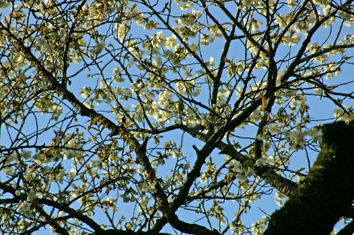六国見山のシンボルツリー夫婦桜満開、見頃は週明けまでか_c0014967_228117.jpg
