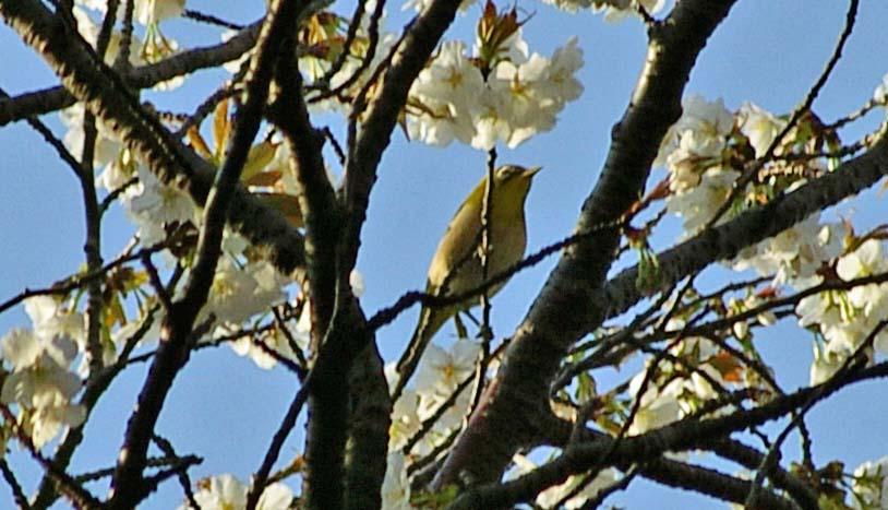 六国見山のシンボルツリー夫婦桜満開、見頃は週明けまでか_c0014967_2283280.jpg