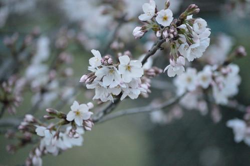 桜_e0331868_1985047.jpg