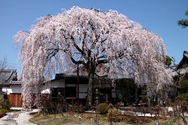 14桜始まる4  本満寺_e0048413_034795.jpg