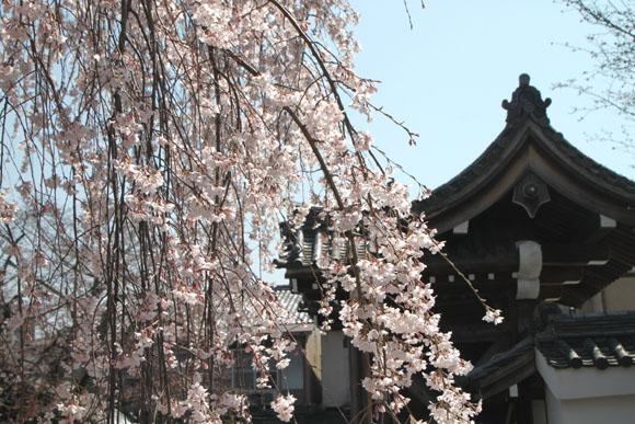 14桜始まる4  本満寺_e0048413_04266.jpg