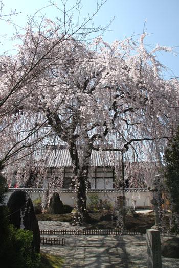 14桜始まる4  本満寺_e0048413_045258.jpg
