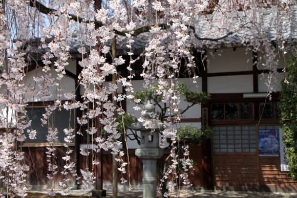 14桜始まる4  本満寺_e0048413_04737.jpg