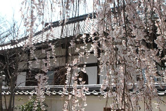 14桜始まる4  本満寺_e0048413_051264.jpg