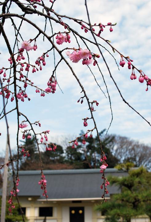 桜の便り_f0067122_15281727.jpg