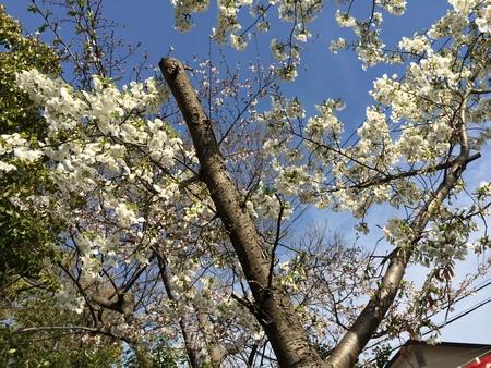 2014 桜_f0218831_16311714.jpg