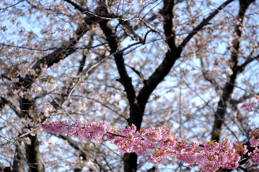 桜のお知らせ_f0050534_15031611.jpg