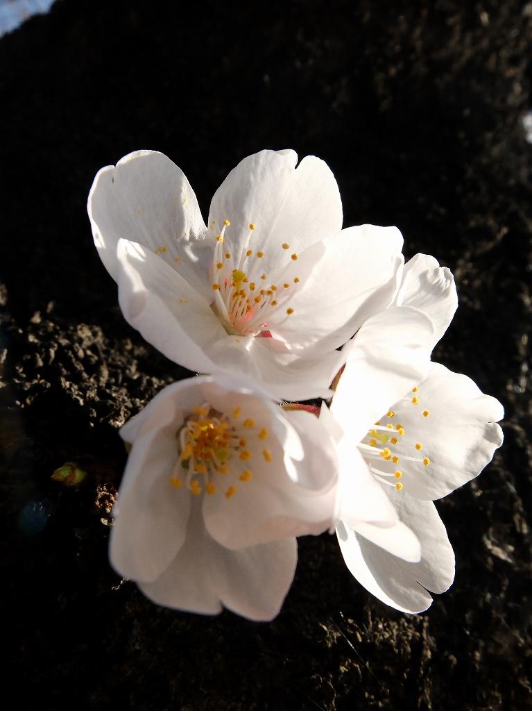 桜のお知らせ_f0050534_15033251.jpg