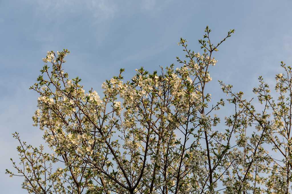 我が家のオオシマザクラが咲きました_f0044056_18280845.jpg