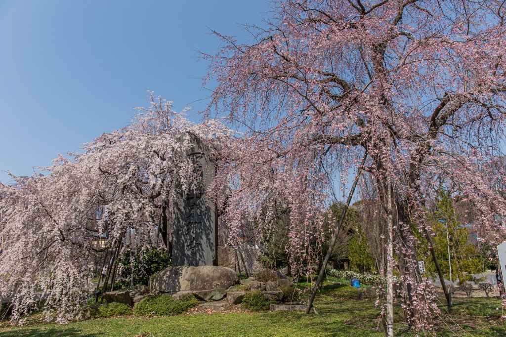 満開になった東郷寺の枝垂桜_f0044056_9361412.jpg