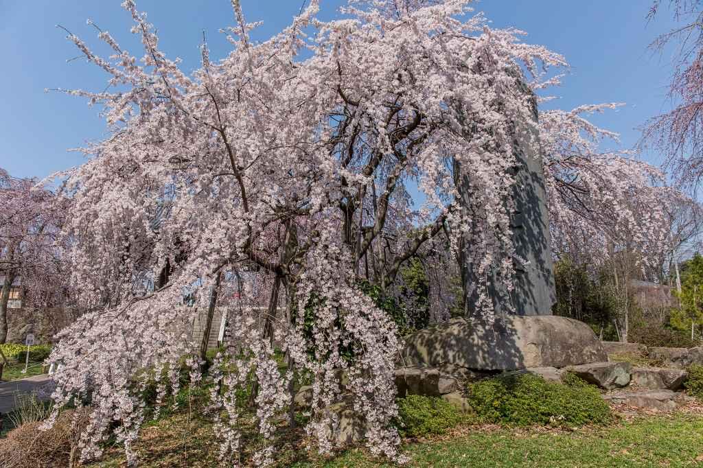 満開になった東郷寺の枝垂桜_f0044056_9371840.jpg